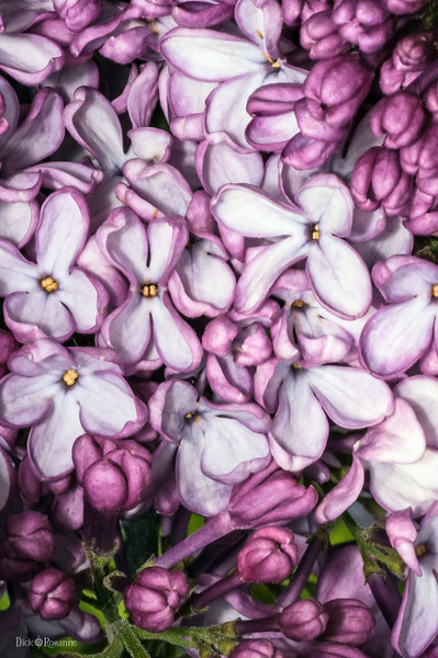 Lilacs     5/10/2017