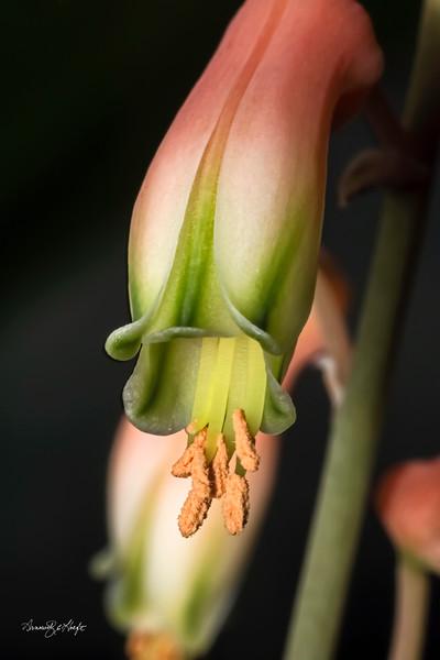 Succulent Flowers 12/13/15