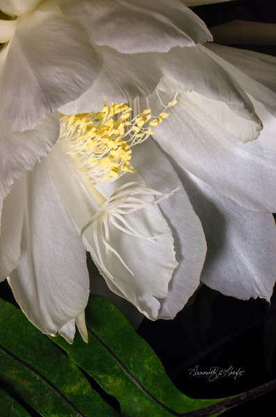 Night Blooming Cereus and Fern Leaf