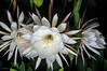 Night Blooming Cereus Trio