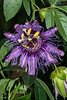 Passion Flower     10/16/2016