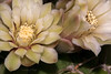 Cactus Flower Duet