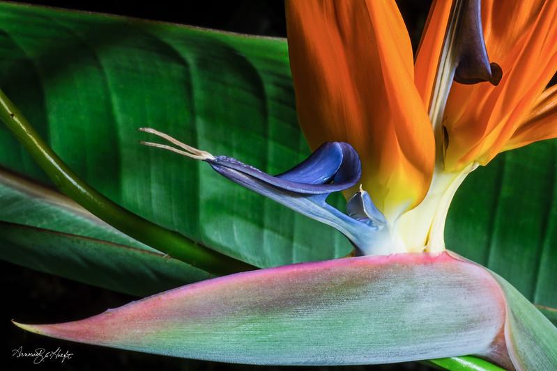 Bird of Paradise     1/1/16