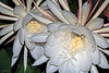 Two Night Blooming Cereus Flowers