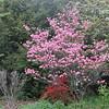 Kousa Florida Dogwood Tree