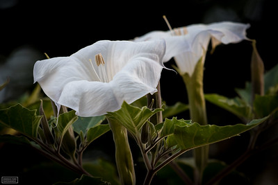 Jimson Weed (Southwestern Thorn Apple)