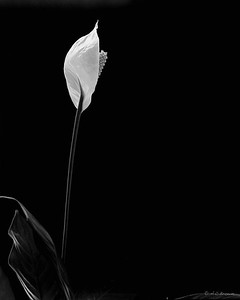 Peace Lily 4x5