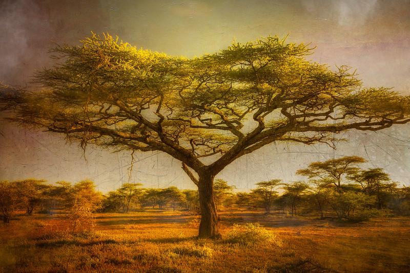 Ndutu Acacia