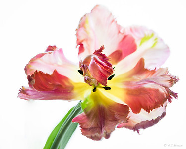 ACB-Apricot Parrot Tulip #1