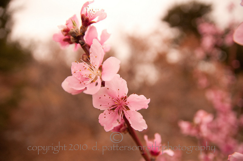 Peach Blossoms 1