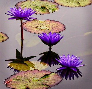 Purple Lotus Blossoms