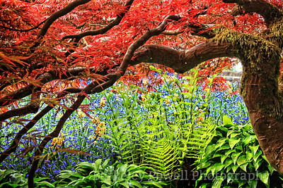 Ferns & Red Maple