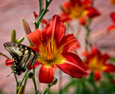 Tiger Swallowtail & Day Lillies