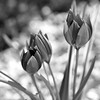 Tulips 5 b&w