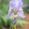 tender iris moment