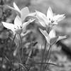Tulips 3 b&w