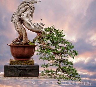 Juniper Bonsai #8