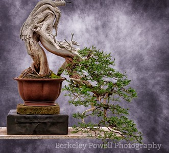 Juniper Bonsai #4