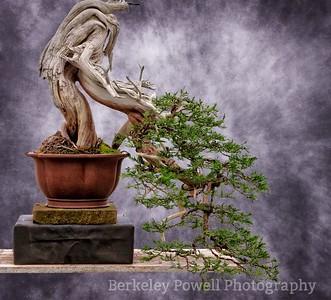 Juniper Bonsai #4