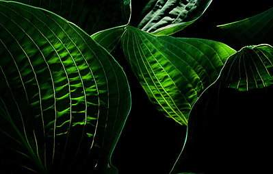 hosta in shadow