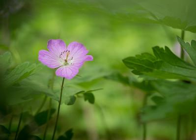 Wild Geranium..