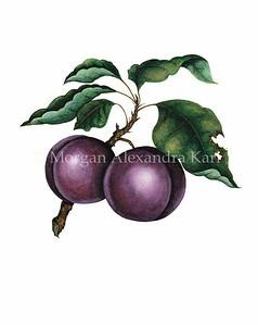 INUBIANA JAPANESE  PLUM / Prunus salicina, sp.