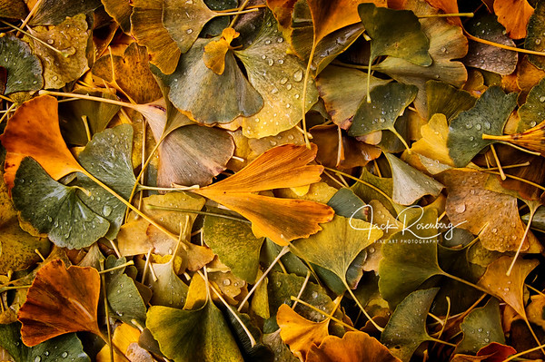 """Wet Ginkgo Leaves"""