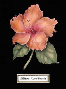 HIBISCUS  ROSA-SINENSIS Hibiscus