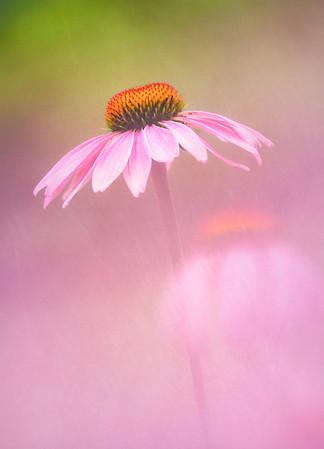 Purple Coneflower..