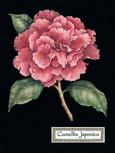 CAMELLIA JAPONICA Camellia