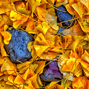 """Ginkgo Leaves And Rocks"""