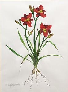 RUBY THROAT DAYLILY,  Hemerocallis, sp.