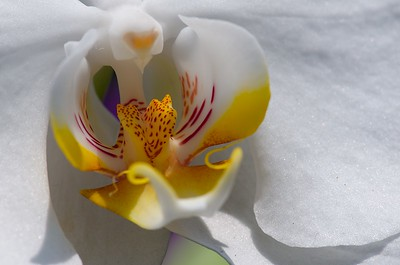 Orchid @ ABG