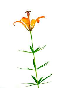 Single Wood Lily