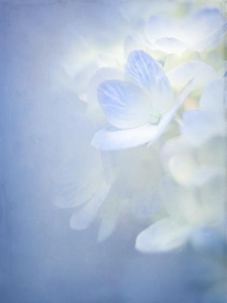 Blue Hydrangea..
