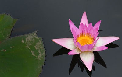 Water Lily @ ABG