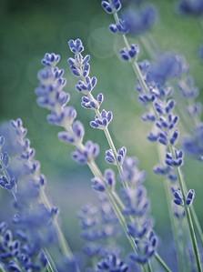 Stalks of Lavender