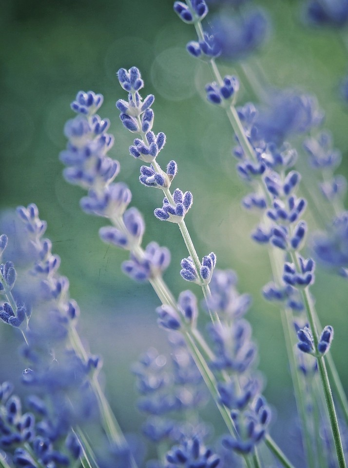 Stalks of Lavender