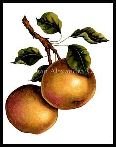 NIJISSEIKI ASIAN PEAR / Pyrus pyrifolia, sp.