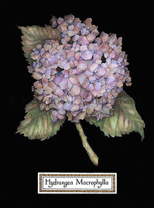 HYDRANGEA MACROPHYLLA Hydrangea