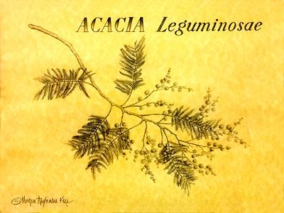 ACACIA / Leguminosae sp.