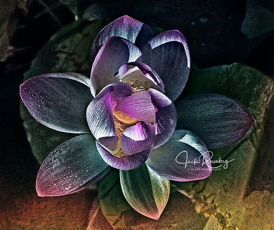 """Purple Lotus Blossom"""
