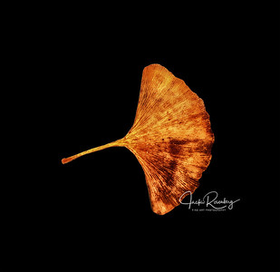 """Gingko Fan"""