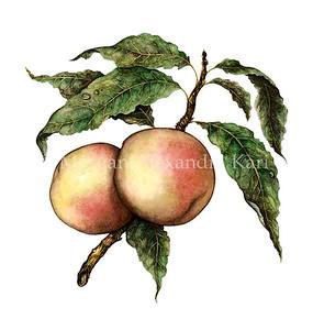 GOLDMINE NECTARINE /  Prunus persica, sp.