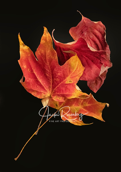 """Red Leaves Of Autumn"""