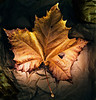 Fallen Leaf on a Paper Bag