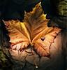 Fallen Leaf on a Paper Bag