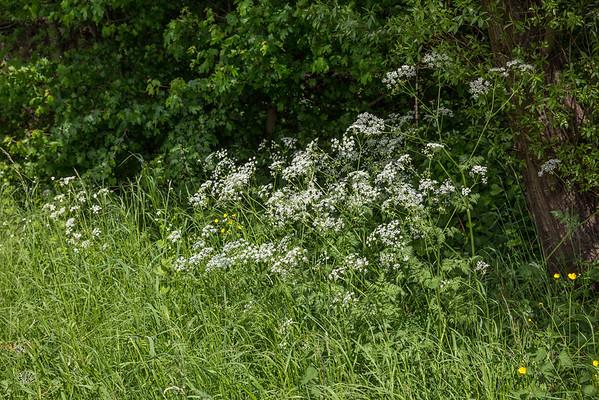 La floraison du cerfeuil sauvage