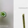 Cerfeuil sauvage ( (Anthriscus sylvestris) et cerfeuil penché (Chaerophyllum temulum) : tige