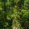 Le lierre est-il néfaste pour l'arbre support ?